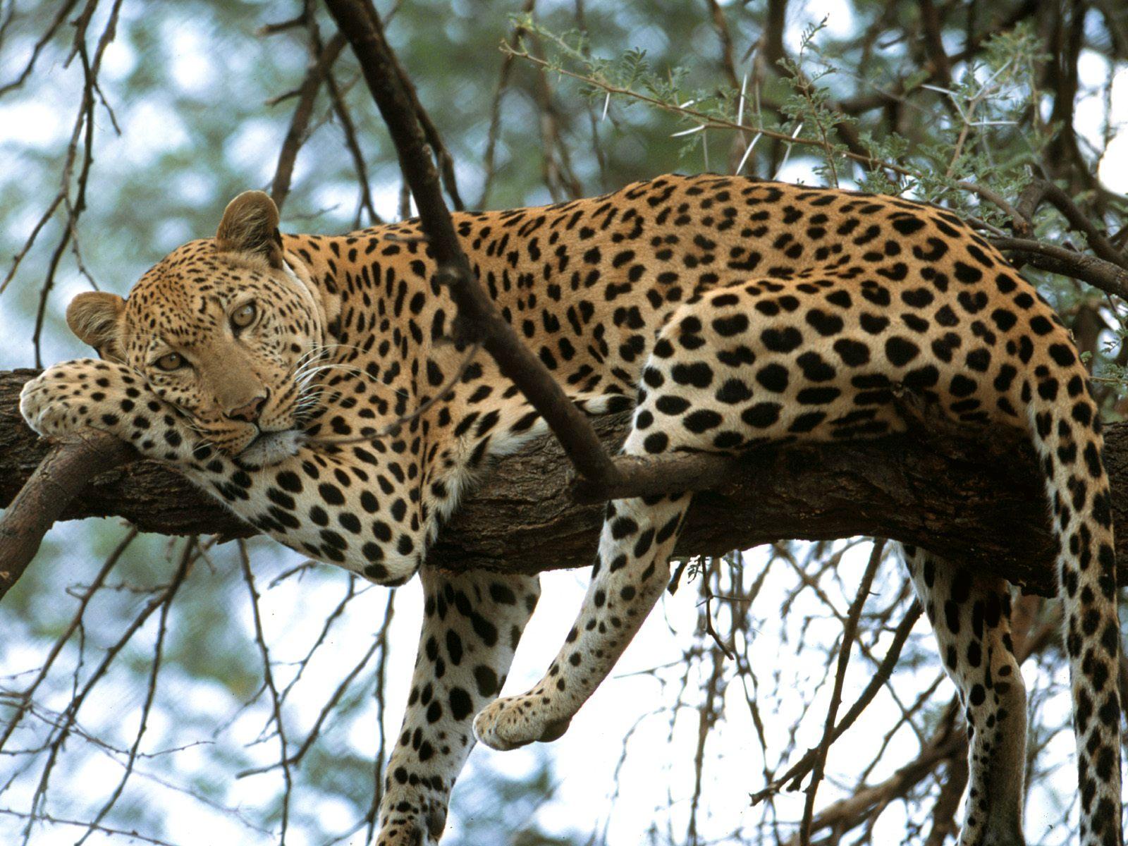 large-cheetah-background1